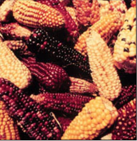 corn on the cob mixed color